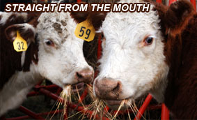 Save Hay - Straight from the Cow's Mouth